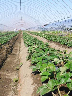 熊本産高級イチゴ『完熟紅ほっぺ』 令和元年も12月上旬からの出荷予定!定植後の様子を現地取材!_a0254656_17365600.jpg