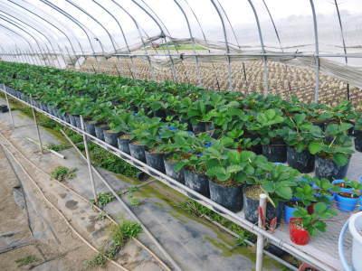 熊本産高級イチゴ『完熟紅ほっぺ』 令和元年も12月上旬からの出荷予定!定植後の様子を現地取材!_a0254656_17413708.jpg