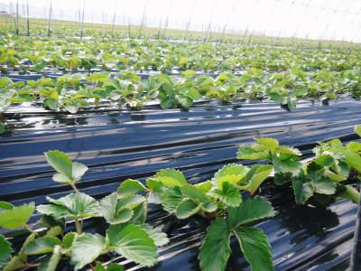 熊本産高級イチゴ『完熟紅ほっぺ』 令和元年も12月上旬からの出荷予定!定植後の様子を現地取材!_a0254656_17512534.jpg