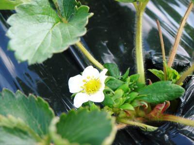 熊本産高級イチゴ『完熟紅ほっぺ』 令和元年も12月上旬からの出荷予定!定植後の様子を現地取材!_a0254656_17554923.jpg