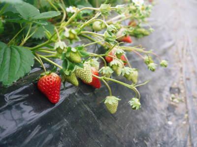 熊本産高級イチゴ『完熟紅ほっぺ』 令和元年も12月上旬からの出荷予定!定植後の様子を現地取材!_a0254656_18081197.jpg