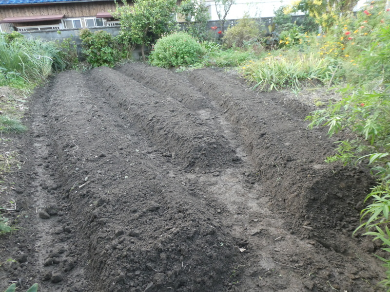 タマネギ500本植付準備完了・・・我が家の農園_c0108460_17403527.jpg