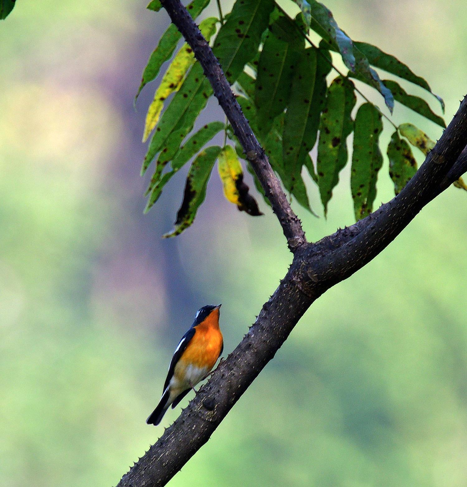 秋の渡り旅鳥 ②:ムギマキ オス&メス_e0362696_17223242.jpg