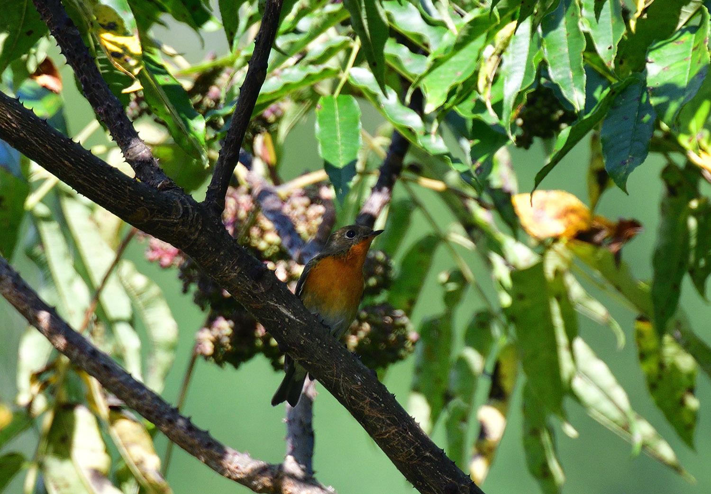 秋の渡り旅鳥 ②:ムギマキ オス&メス_e0362696_17224425.jpg