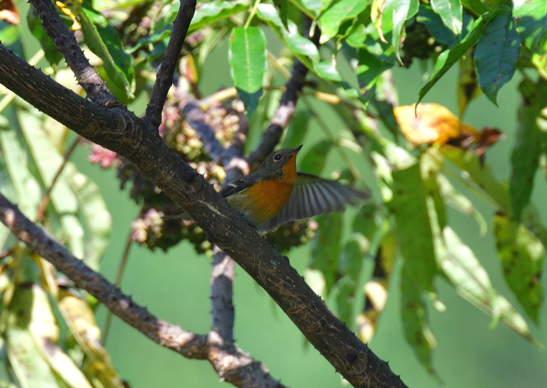 秋の渡り旅鳥 ②:ムギマキ オス&メス_e0362696_17224814.jpg