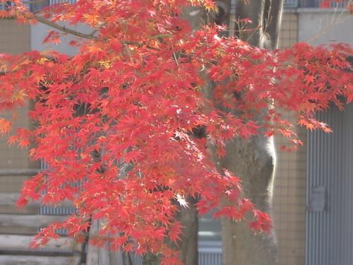重文本館の紅葉・黄葉、2019.10.31昼_c0075701_12515402.jpg