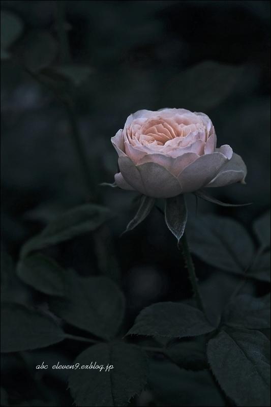 Autumn rose ②_f0315034_11523245.jpg