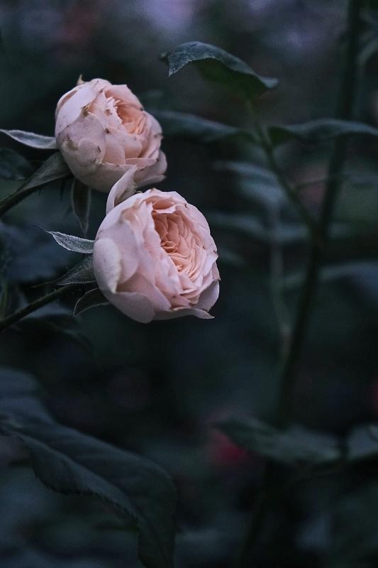 Autumn rose ②_f0315034_11525882.jpg