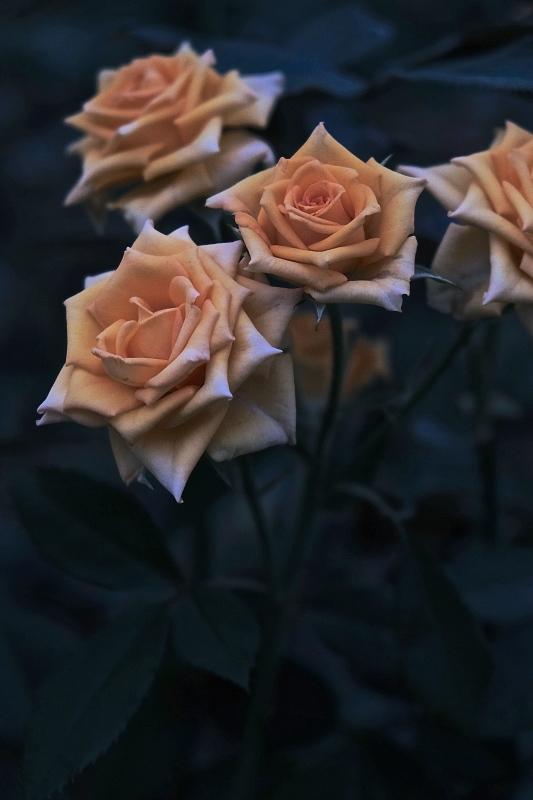 Autumn rose ②_f0315034_11530436.jpg