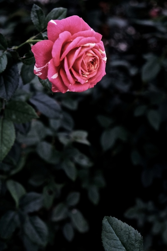 Autumn rose ②_f0315034_11531279.jpg