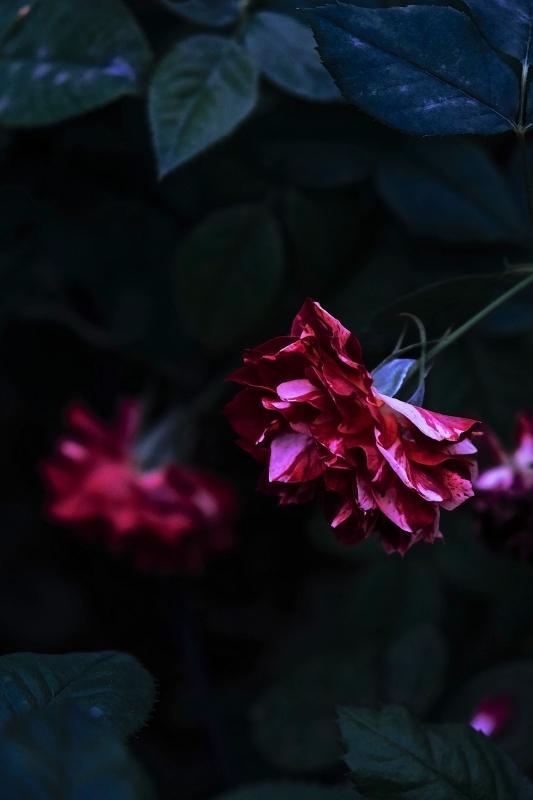 Autumn rose ②_f0315034_11532123.jpg