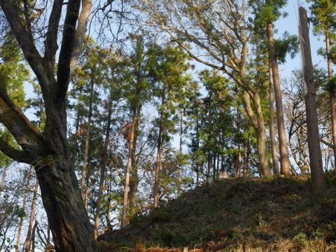 夫婦桜上の中折れスギなど伐採10・30六国見山手入れ_c0014967_09253095.jpg