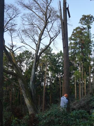 夫婦桜上の中折れスギなど伐採10・30六国見山手入れ_c0014967_09255452.jpg