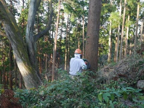 夫婦桜上の中折れスギなど伐採10・30六国見山手入れ_c0014967_09274793.jpg