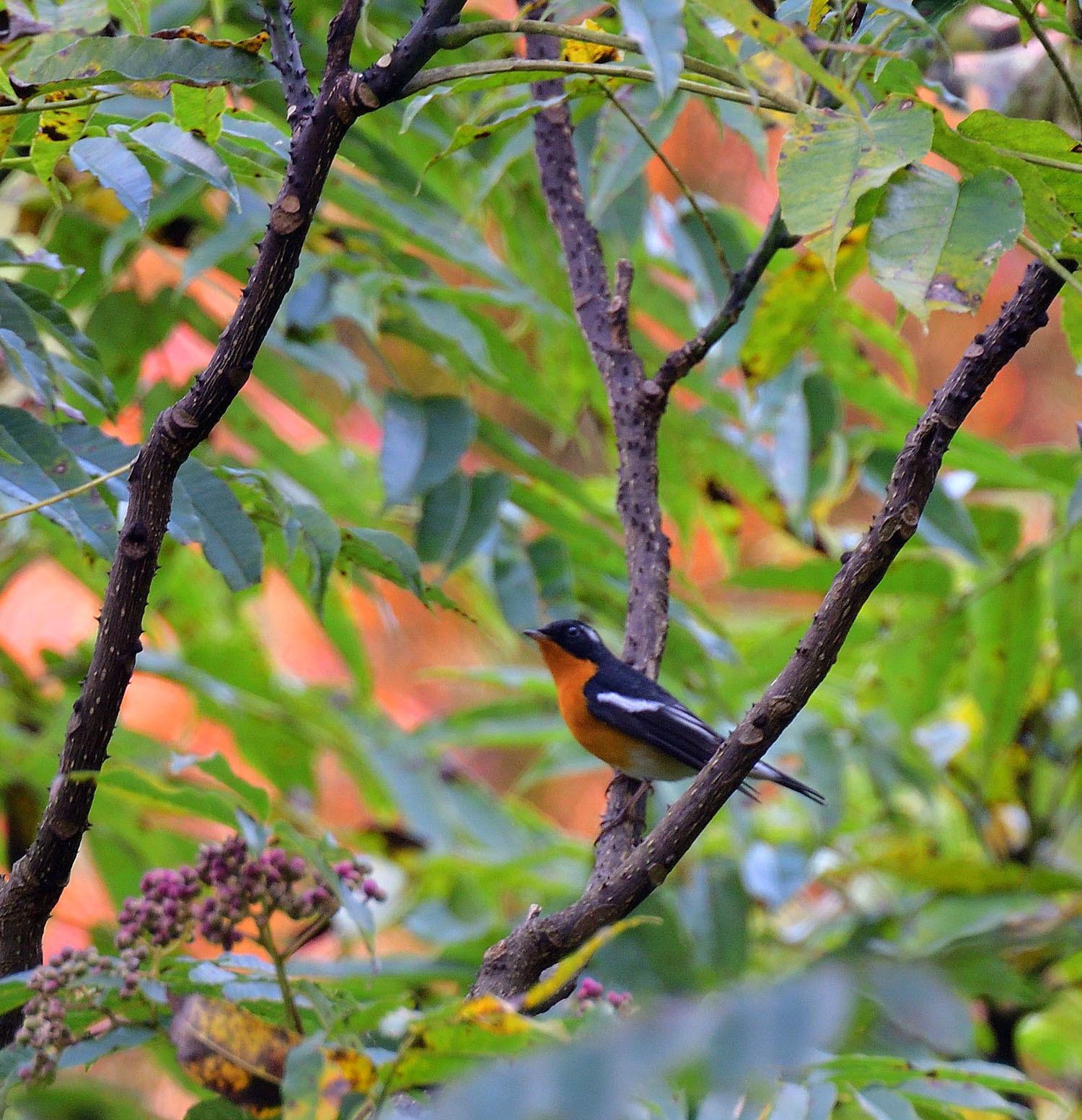 秋の渡り旅鳥③:ムギマキ オス&メス_e0362696_17213562.jpg