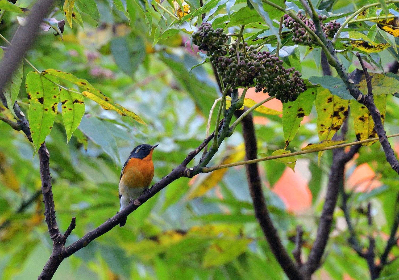 秋の渡り旅鳥③:ムギマキ オス&メス_e0362696_17215597.jpg