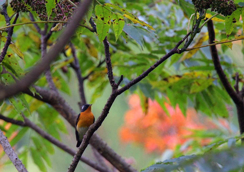 秋の渡り旅鳥③:ムギマキ オス&メス_e0362696_17220275.jpg