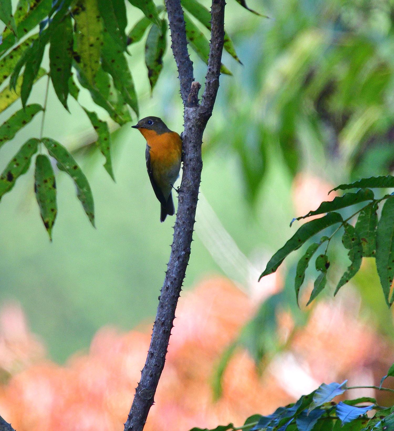 秋の渡り旅鳥③:ムギマキ オス&メス_e0362696_17221729.jpg