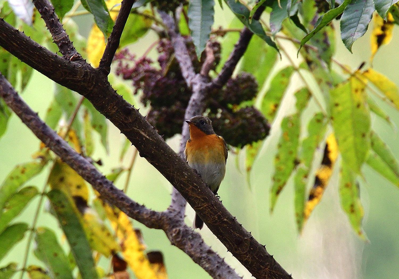 秋の渡り旅鳥③:ムギマキ オス&メス_e0362696_17222677.jpg