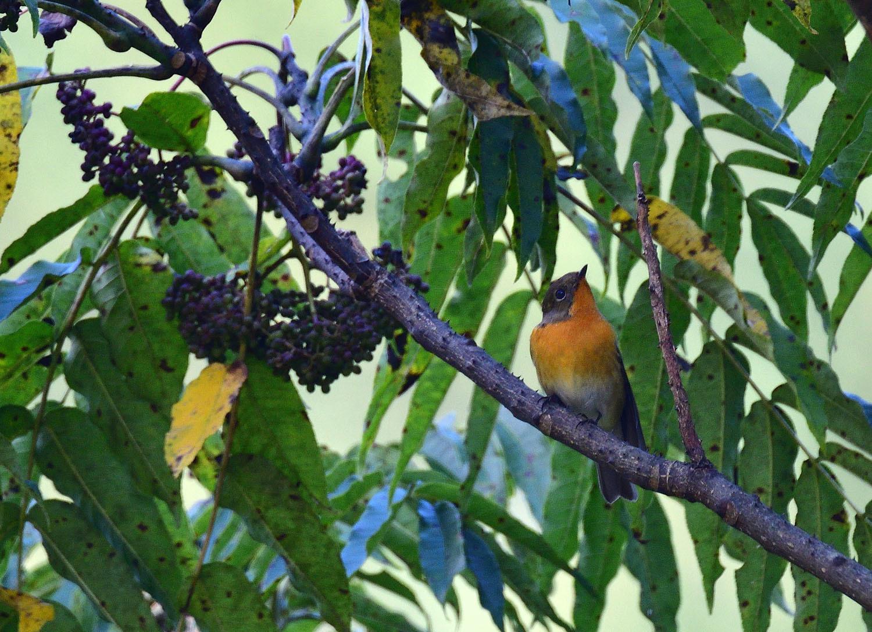 秋の渡り旅鳥③:ムギマキ オス&メス_e0362696_17223281.jpg
