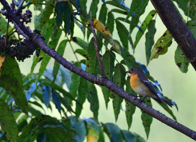 秋の渡り旅鳥③:ムギマキ オス&メス_e0362696_17223754.jpg