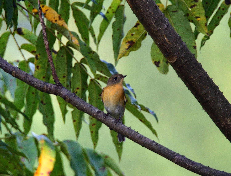 秋の渡り旅鳥③:ムギマキ オス&メス_e0362696_17224404.jpg