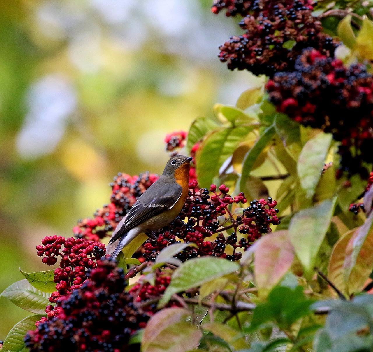 ムギマキが赤い実を・・・_c0213607_19020262.jpg