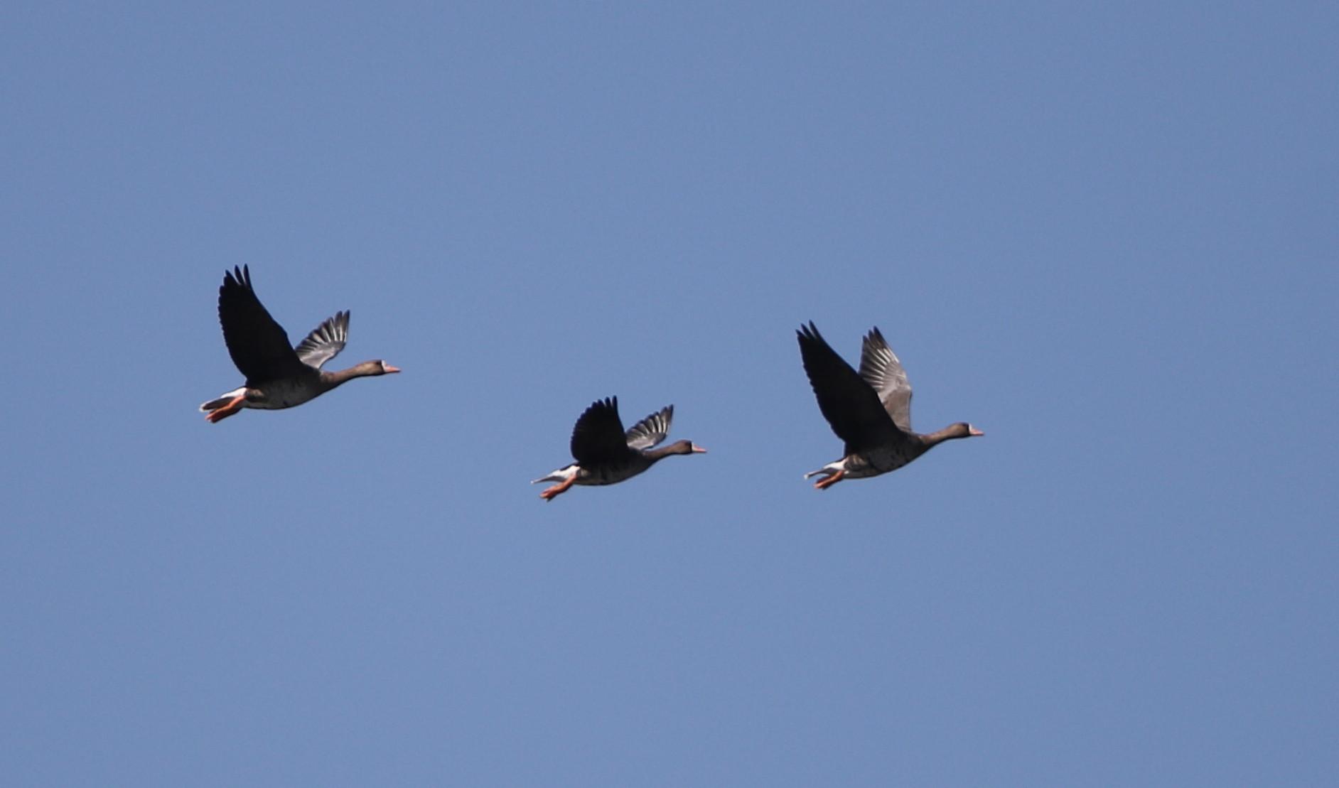 MFの沼へマガンが3羽飛来上空を旋回し飛び去る_f0239515_17285771.jpg