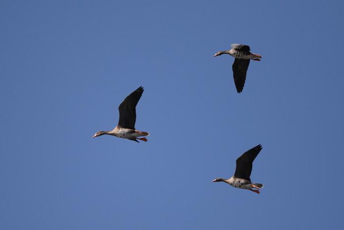 MFの沼へマガンが3羽飛来上空を旋回し飛び去る_f0239515_17294686.jpg