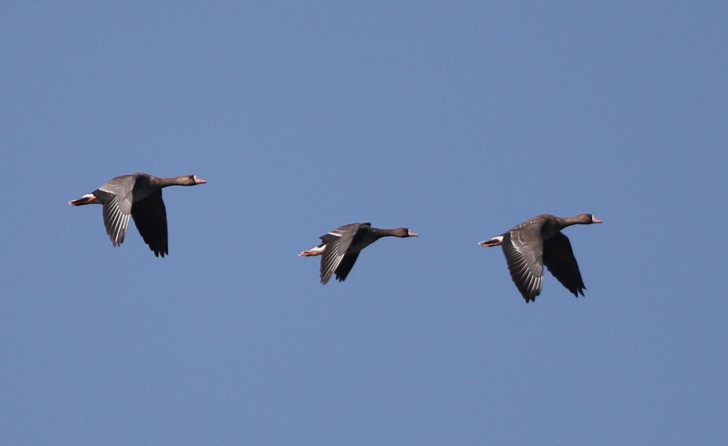 MFの沼へマガンが3羽飛来上空を旋回し飛び去る_f0239515_17301741.jpg