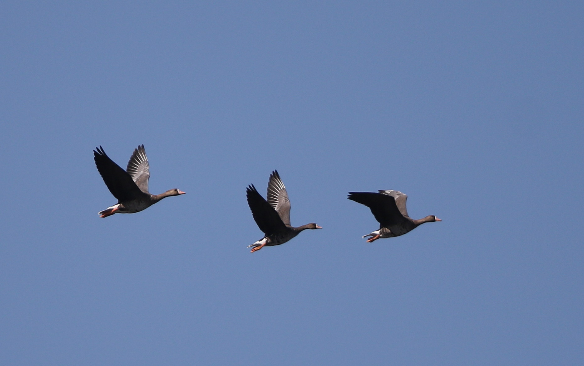 MFの沼へマガンが3羽飛来上空を旋回し飛び去る_f0239515_17304119.jpg
