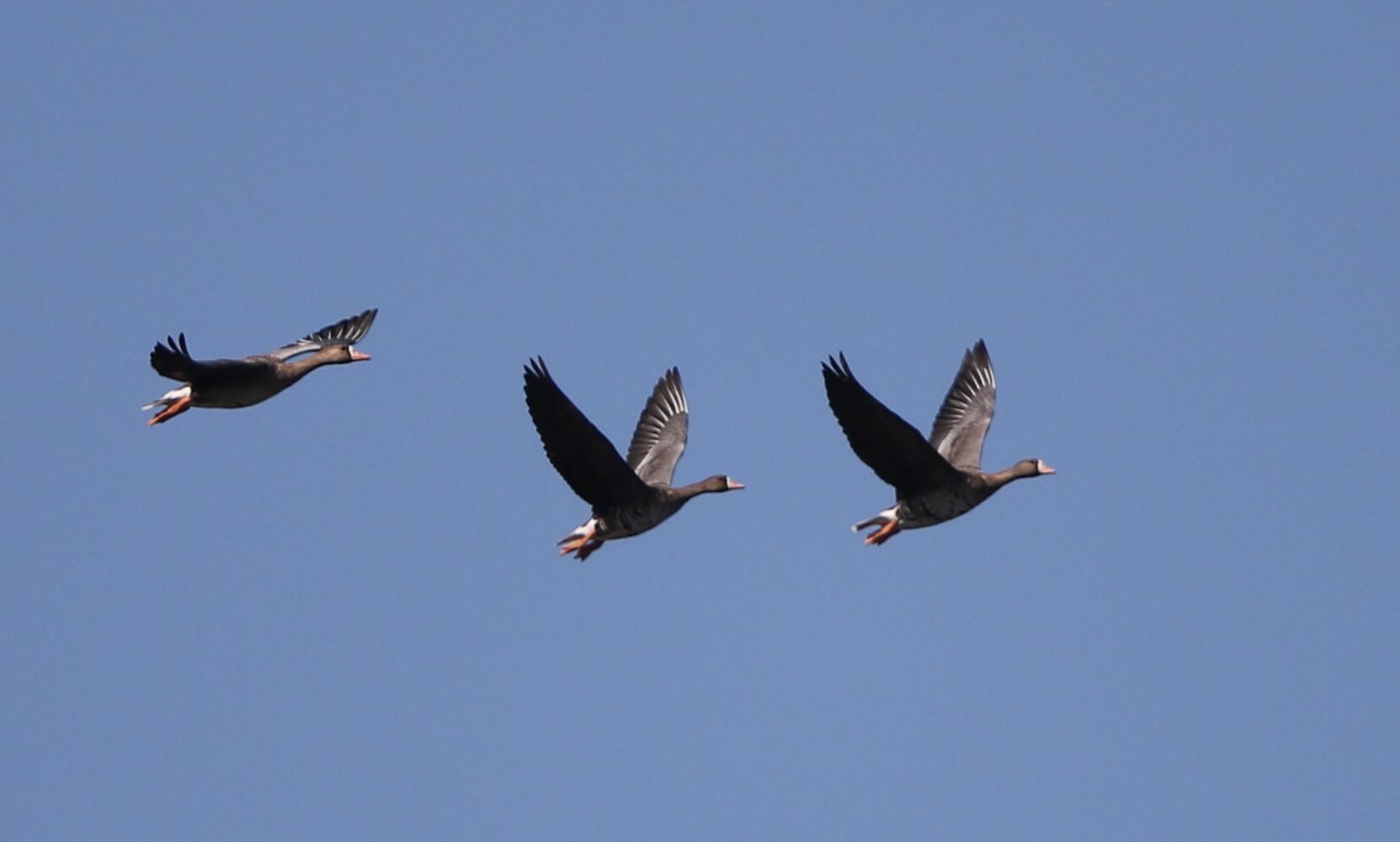 MFの沼へマガンが3羽飛来上空を旋回し飛び去る_f0239515_17322371.jpg