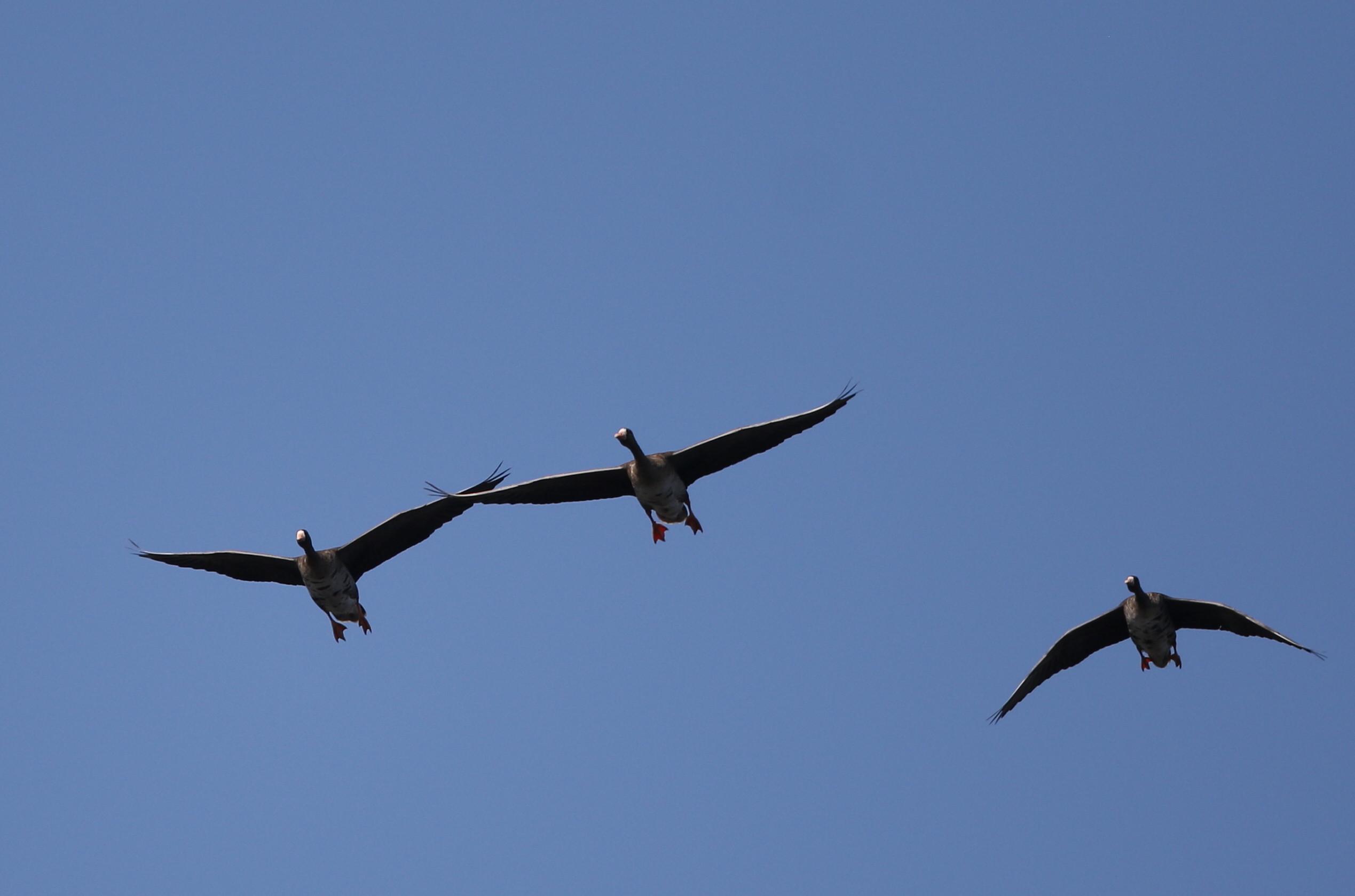 MFの沼へマガンが3羽飛来上空を旋回し飛び去る_f0239515_17324611.jpg