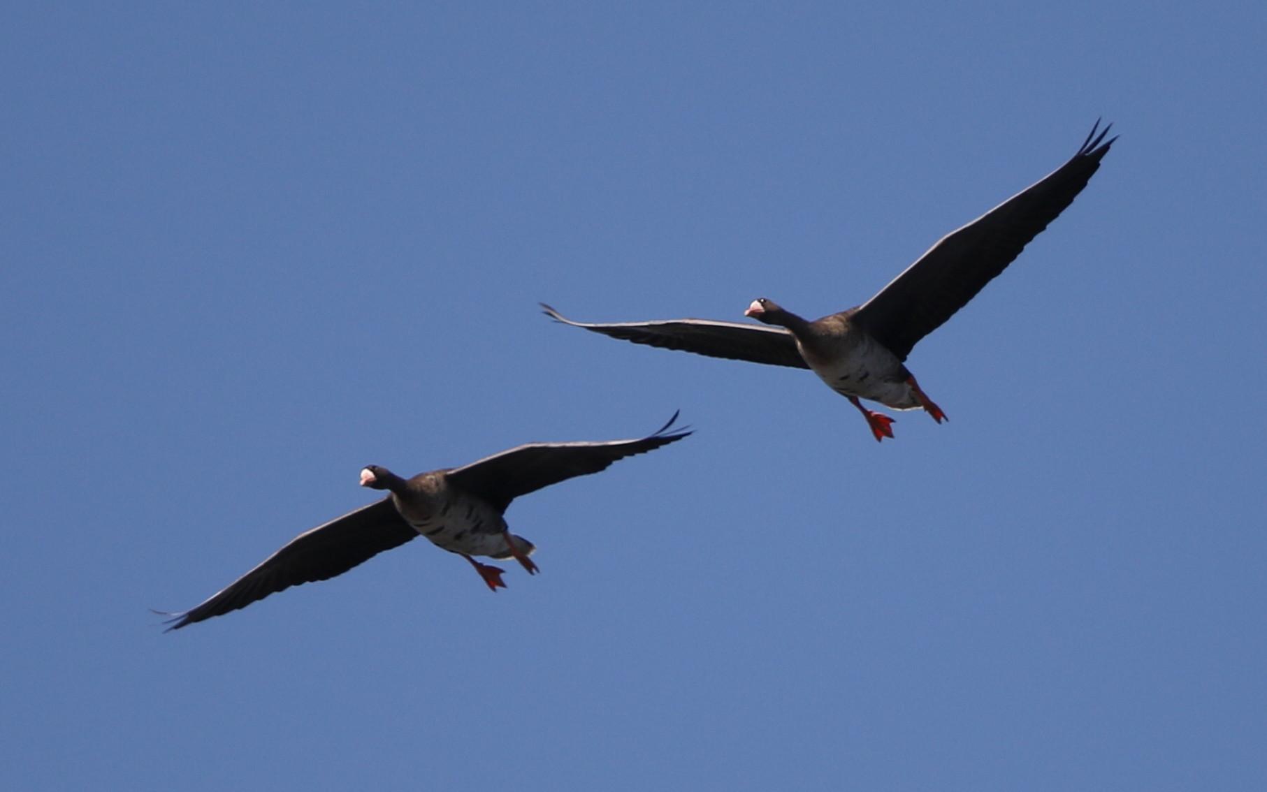 MFの沼へマガンが3羽飛来上空を旋回し飛び去る_f0239515_1733126.jpg
