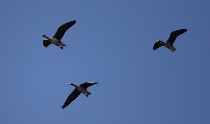 MFの沼へマガンが3羽飛来上空を旋回し飛び去る_f0239515_17334777.jpg