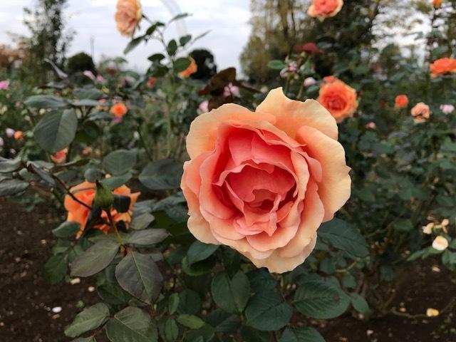 Ayura* Rose 11月サロンからのお知らせ*_d0085018_10314485.jpg