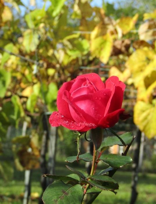 晩秋の薔薇_b0287748_17085595.jpg