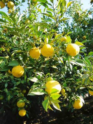 香り高き柚子 令和元年度の収穫が始まりました!「冬至用柚子」も予約受付中!ただし早い者勝ちです!_a0254656_16453009.jpg