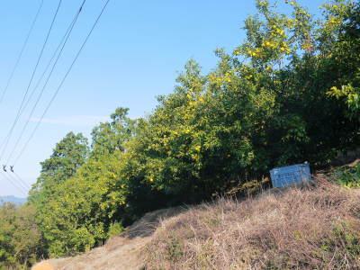 香り高き柚子 令和元年度の収穫が始まりました!「冬至用柚子」も予約受付中!ただし早い者勝ちです!_a0254656_16490905.jpg