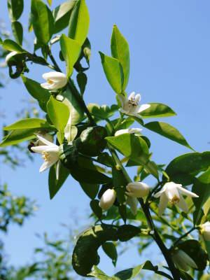 香り高き柚子 令和元年度の収穫が始まりました!「冬至用柚子」も予約受付中!ただし早い者勝ちです!_a0254656_16551820.jpg