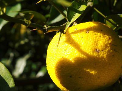 香り高き柚子 令和元年度の収穫が始まりました!「冬至用柚子」も予約受付中!ただし早い者勝ちです!_a0254656_17045113.jpg
