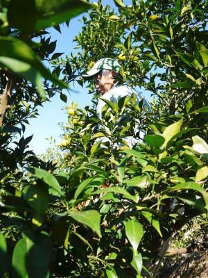 香り高き柚子 令和元年度の収穫が始まりました!「冬至用柚子」も予約受付中!ただし早い者勝ちです!_a0254656_17143415.jpg