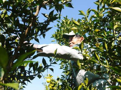 香り高き柚子 令和元年度の収穫が始まりました!「冬至用柚子」も予約受付中!ただし早い者勝ちです!_a0254656_17283352.jpg
