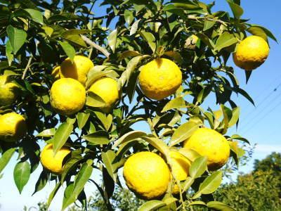 香り高き柚子 令和元年度の収穫が始まりました!「冬至用柚子」も予約受付中!ただし早い者勝ちです!_a0254656_17451968.jpg