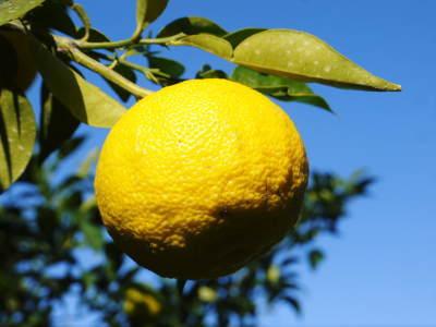 香り高き柚子 令和元年度の収穫が始まりました!「冬至用柚子」も予約受付中!ただし早い者勝ちです!_a0254656_17511083.jpg