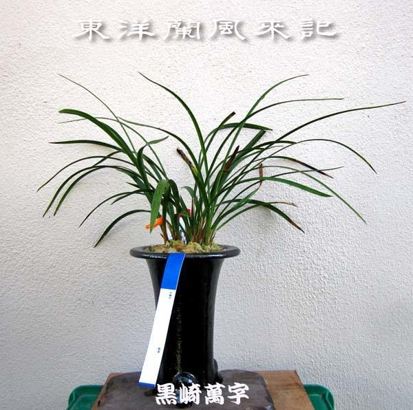 九華「関頂」株分け                      No.1987_d0103457_10452703.jpg