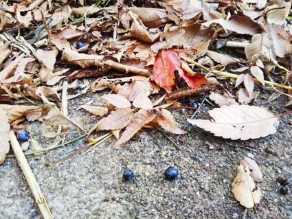 落ち葉の季節。落ち葉は田んぼに撒きます。_b0126182_22151393.jpg