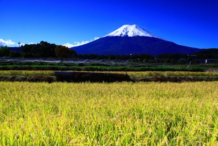 令和元年10月の富士(26)農村公園の稲穂と富士_e0344396_14143148.jpg