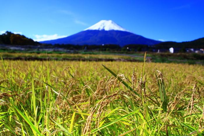 令和元年10月の富士(26)農村公園の稲穂と富士_e0344396_14144888.jpg