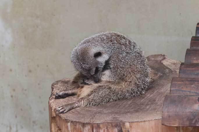 ミーアキャットの赤ちゃん成長記:生後一か月(井の頭自然文化園)_b0355317_19490916.jpg